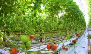 Przewaga producenta owoców i warzyw szklarniowych nad rolnikami